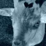 74.goatsheadheart